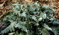 broccolo_fiolaro